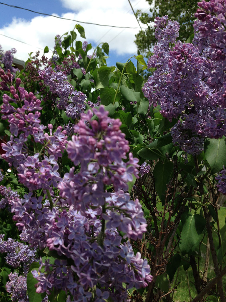 Lilacs a Deep Purple