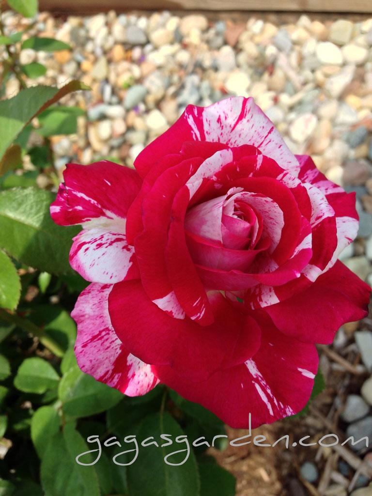 Memory Lane Of Roses Gaga S Garden