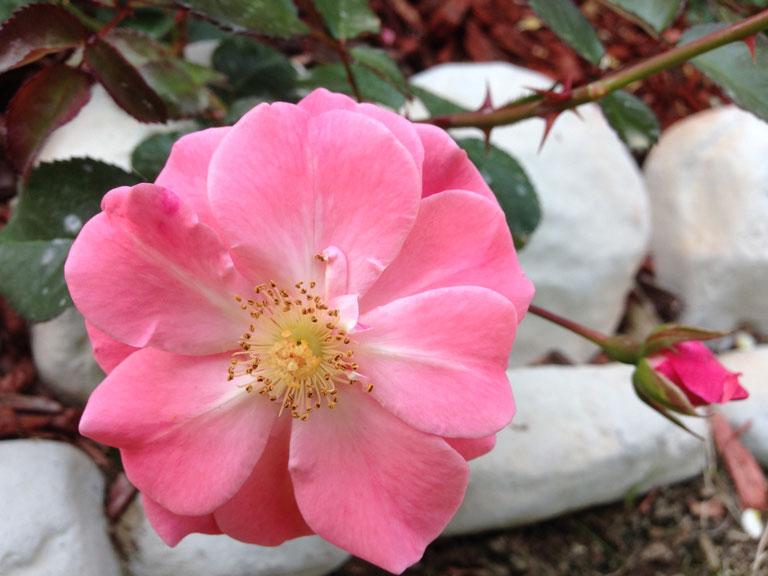 Roses In Garden: Memory Lane Of Roses
