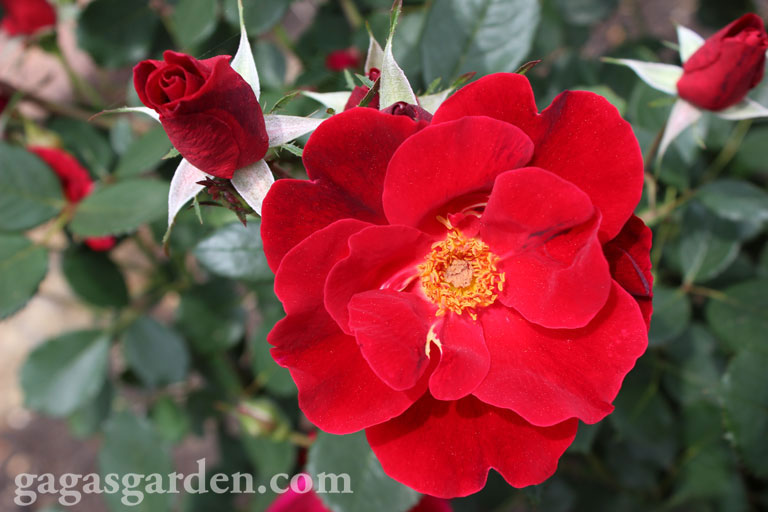 Simple Rose Garden: Easy Steps To Bare Root Rose Planting