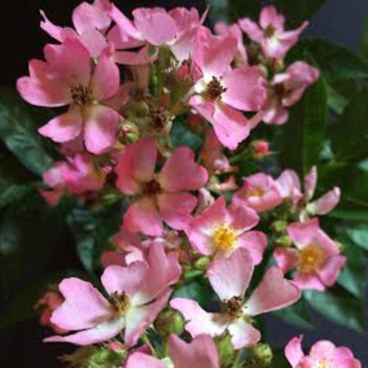Phloxy Baby William Cecil Best Growth Habit  Bill Radler