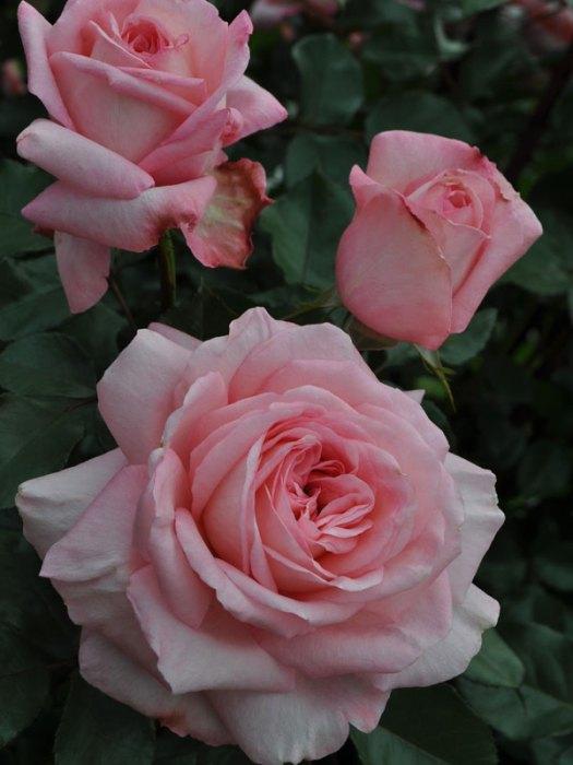 http://newflora.com/product/savannah-rose/