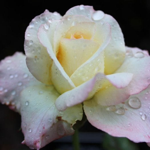 'Peace' by Meilland Roses, the most popular rose in the world