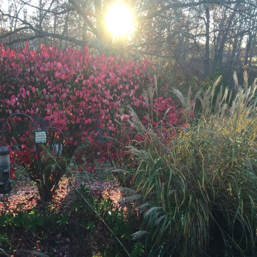 Burning Bush   The Old Oak Tree   Mexican Feather Grass