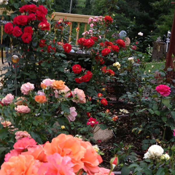 Gaga's Illinois Rose Garden, the elevated garden of hybrid teas, floridunda's, and David Austin Roses.
