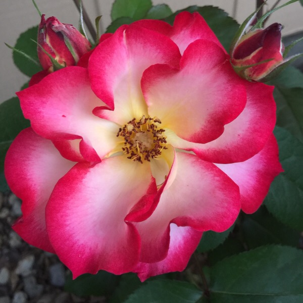 'Betty Boop' Floribunda, a red-blend beauty that lasts and lasts in the rose garden