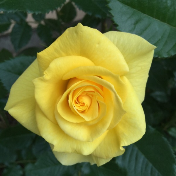 'Sunsprite' a deep yellow floribunda rose that's a winner in the rose garden