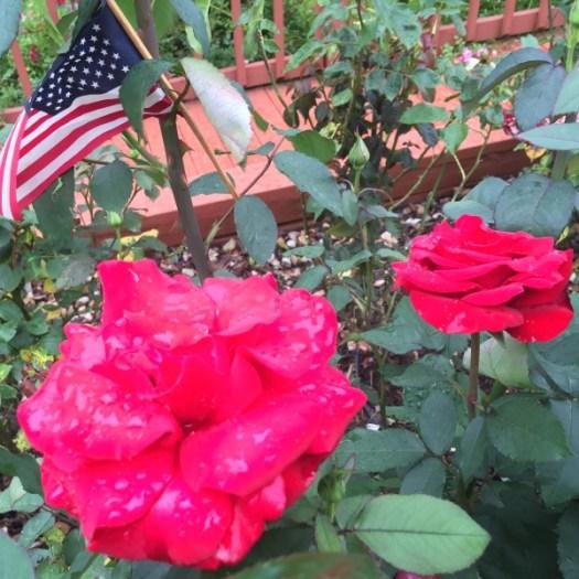 'Veterans Honor' Blooming on Memorial Day Week-End 2016