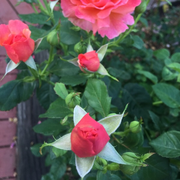 Simple Rose Garden: Rose 'Easy Does It' Repeat Performance