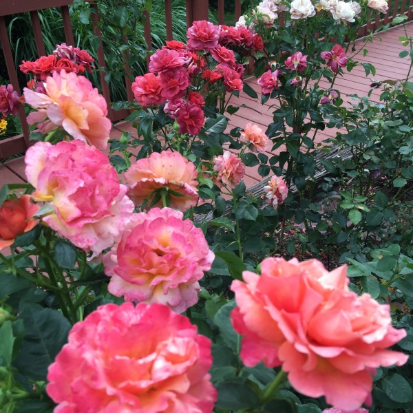 'Easy Does It' | 'Hot Cocoa' | 'Elle' | Pumpkin Patch'Roses in The Garden