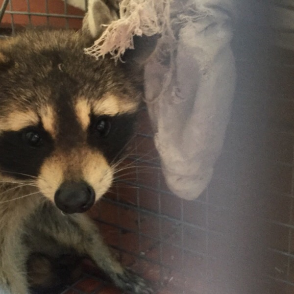 Rosy Raccoon Peaking Out From Captivity