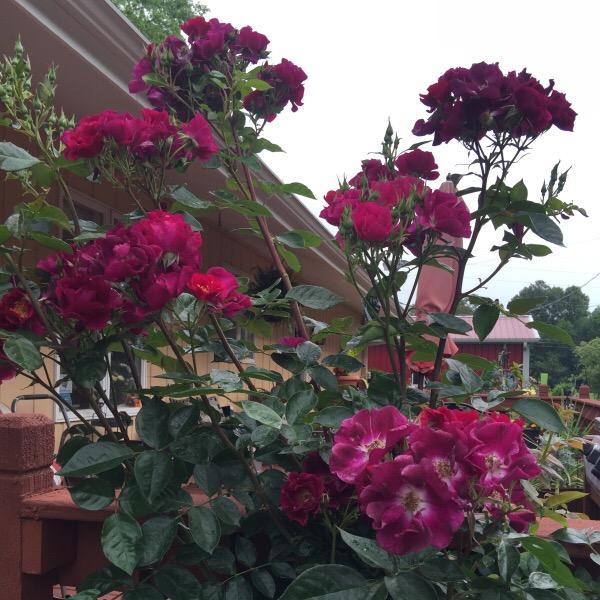 'Stormy Weather' Climbing Rose Candelabra