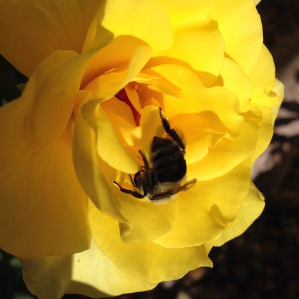 'Sunsprite is a Pollinator Favorite