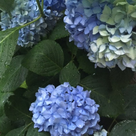 Hydrangea Shades of Blue