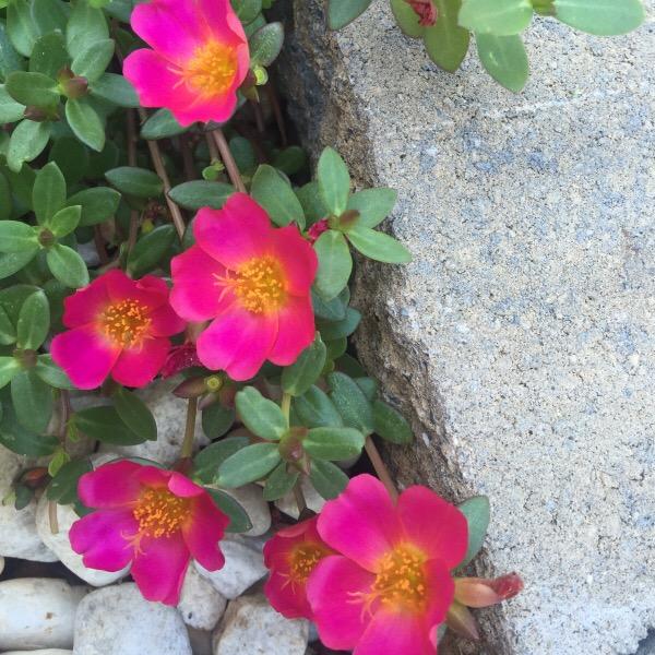 Wild Edible Plants: Purslane (Portulaca Oleracea) | Moss Roses