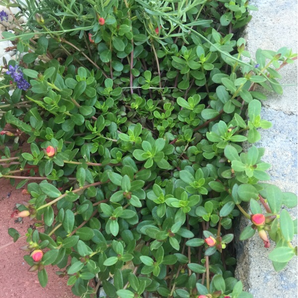 Closed Wild Edible Plants: Purslane (Portulaca Oleracea) | Moss Roses