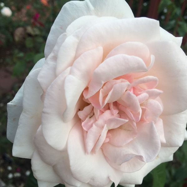 'Francis Meilland' hybrid tea rose, winner of Biltmore International Rose Trials 'Pauline Merrell Award for Best Hybrid Tea Rose 2015'
