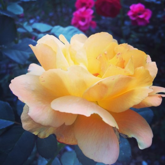 'Good As Gold' Hybrid Tea Rose. Bold, beautiful, double-dipped yellow burnished with a touch of golden red, its a heart stopper!