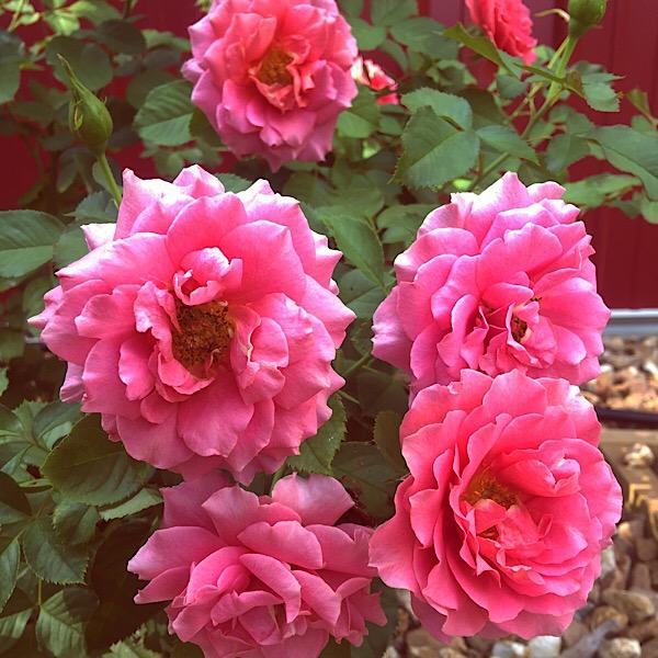 09-03162-Floribunda-Salmon Pink