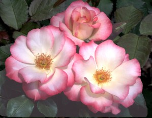 Birthday Girl Rose For March 2018 Photo by Rich Baer   Portland Rose Society