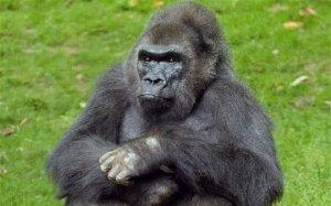 Pattycake-gorilla_2524371b