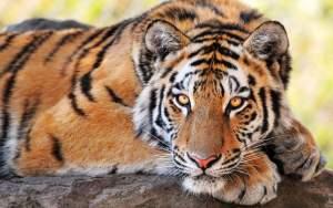 tiger-09