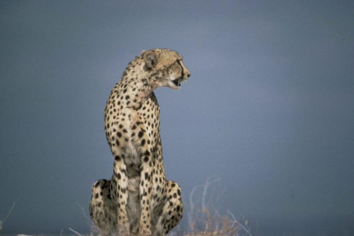 Gepard afrička grabljivica sisar acinonyx jubatus