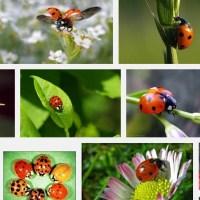 Marienkäfer - die besten Blattlaus Jäger der Saison