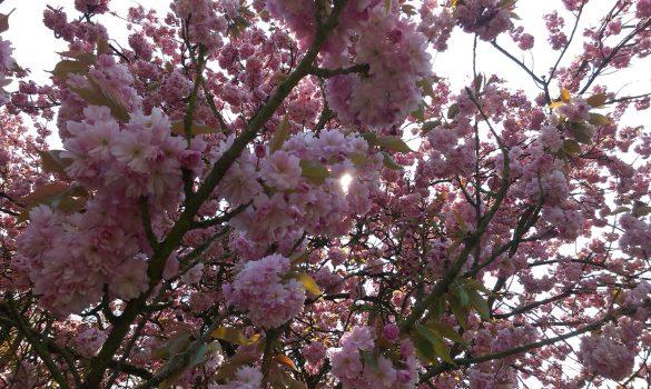 Kirschblüten Nahaufnahme