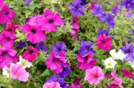 Deine Balkonblumen Retter fr Bienen und Hummeln  Gaias Kinder