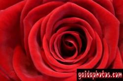 Motive für Geburtstagskarten, Rose, rot