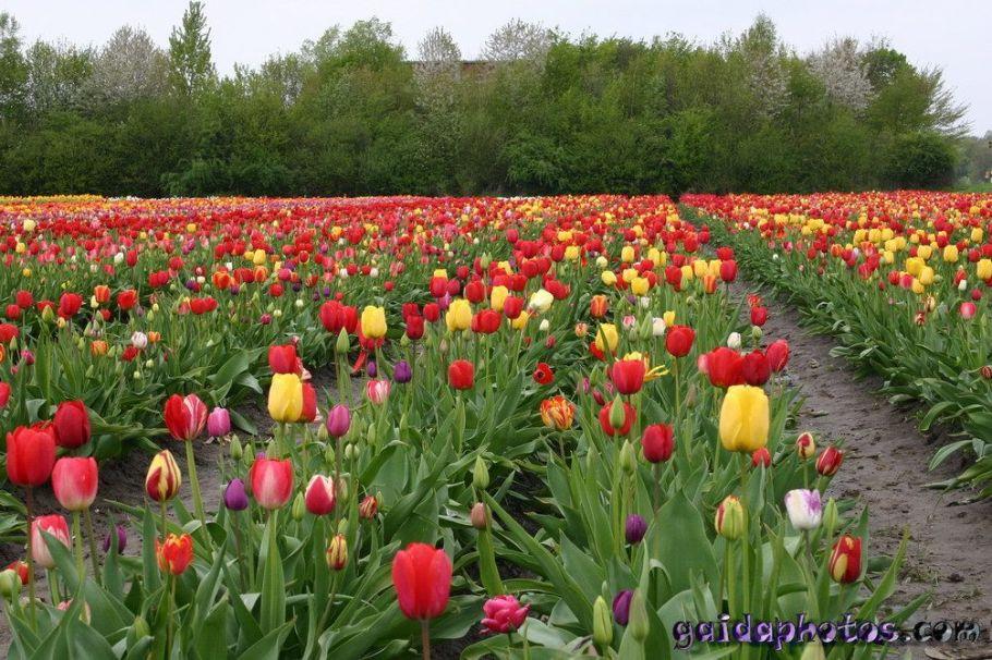 Tulpenfeld rot gelb Osterblumen