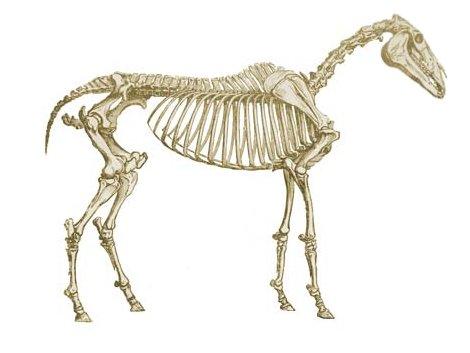 diagram of skeletal ribs australian xr650r wiring « africanzeebra