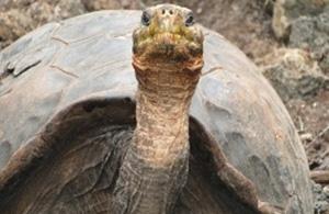 Super Diego Galapagos Tortoise