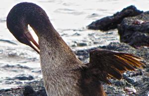 Fernandina Cormorant Galapagos Ecuador
