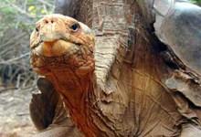 extinct giant tortoise