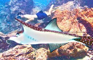 mantarray galapagos diving