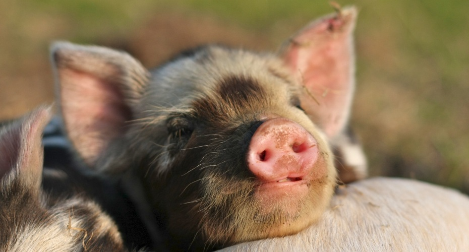 Pig-Brother-Pig-Facts-Information