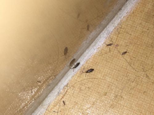 tomocerus minor invasion d insecte