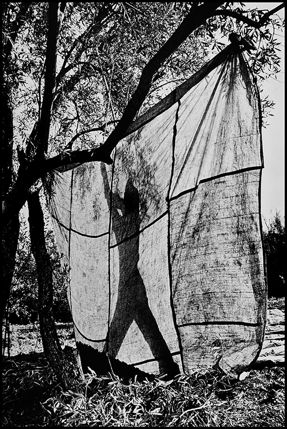 Récolte des olives, Moulay Idriss 1995