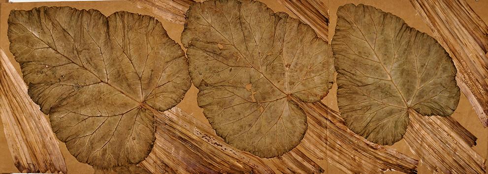 Herbier - Rhem Raponticus - rhubarbe, 45 x 125 cm, 2008 - Photo : © David Cueco