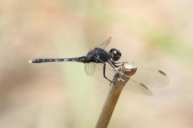 A libélula Diplacodes lefebvrii, coñecida comunmente como percher negro ou skimmer negro, acaba de ser atopada en Galicia