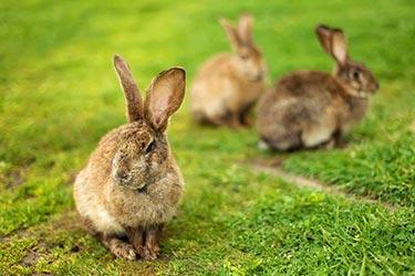 Viande de lapin