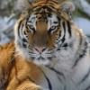 Ecco il genoma dei grandi felini