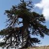 Adone, il più antico albero europeo