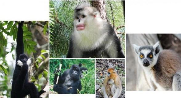 Le scimmie di tutto il pianeta sono in pericolo
