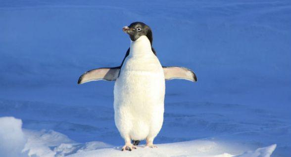 Il riscaldamento globale dietro la moria di pinguini in Antartide