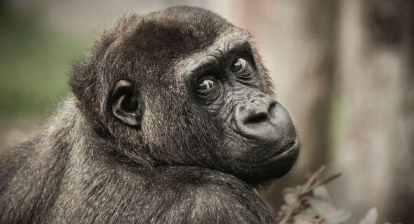 Nelle urla degli scimpanzé le radici del linguaggio