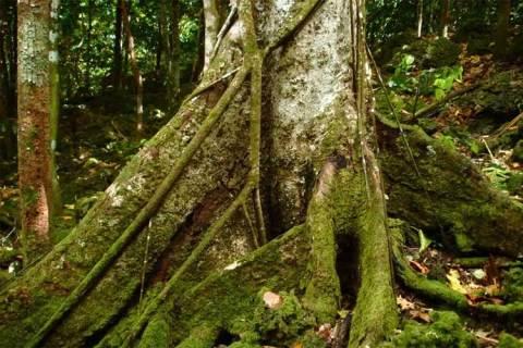 mengenal pohon merbau