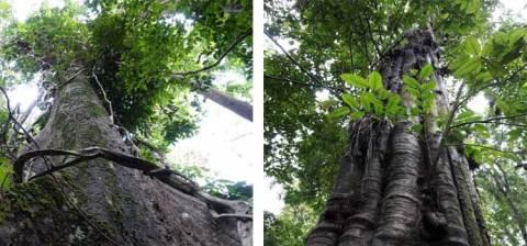 Pohon ulin
